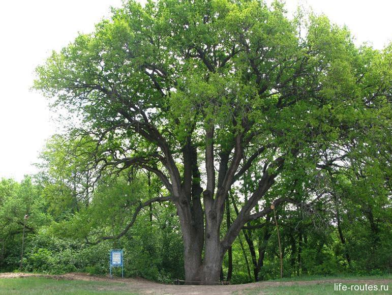 Вешенский дуб