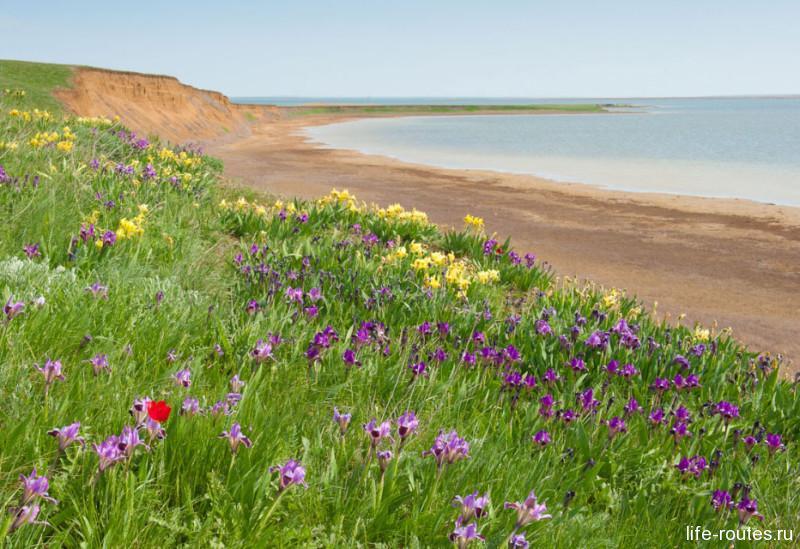 Цветение степных тюльпанов