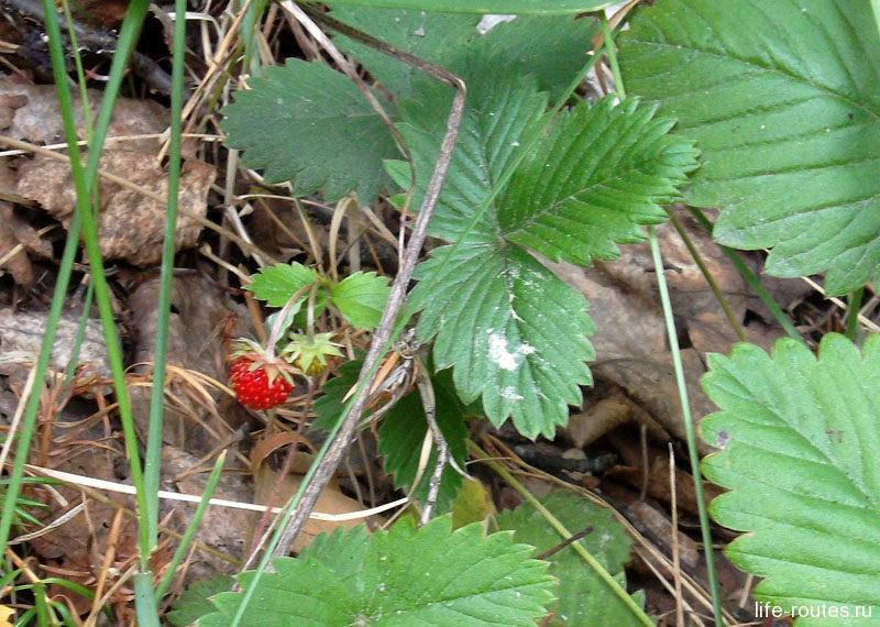 В июле в карельских лесах полно ягод. У вулкана Гирвас растет земляника