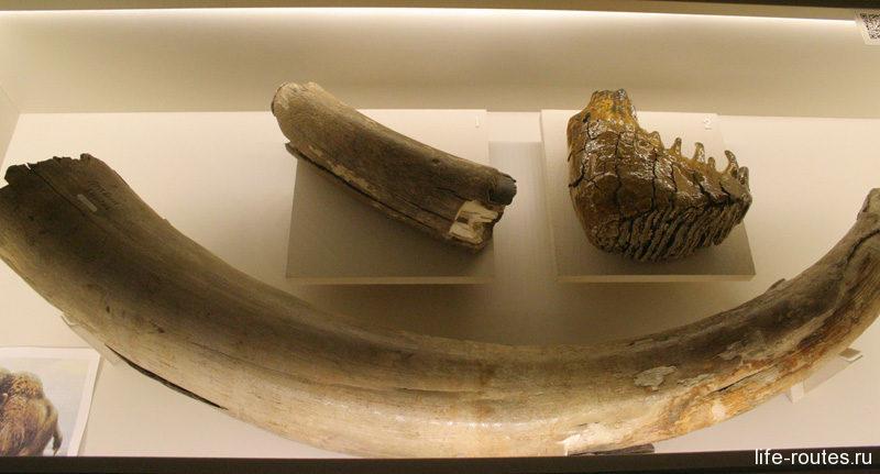 Бивень и зуб мамонта