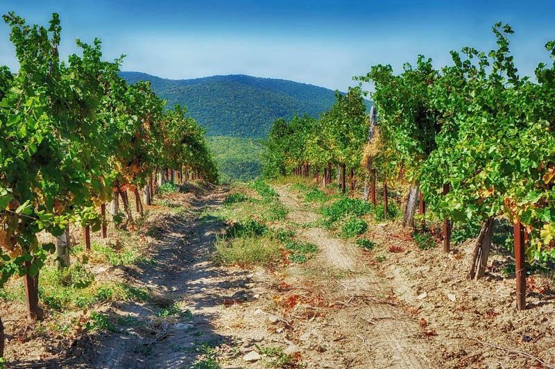 Со всех сторон Пухляковский окружают многочисленные виноградники