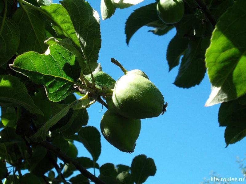 Наливные яблочки в монастырском саду
