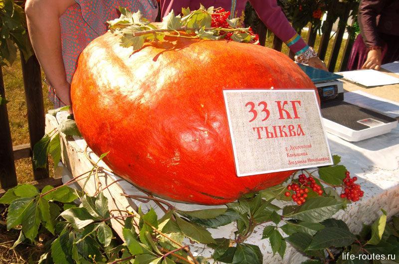 Ну а вот и собственно урожай. Тыква весом в 33 кг...