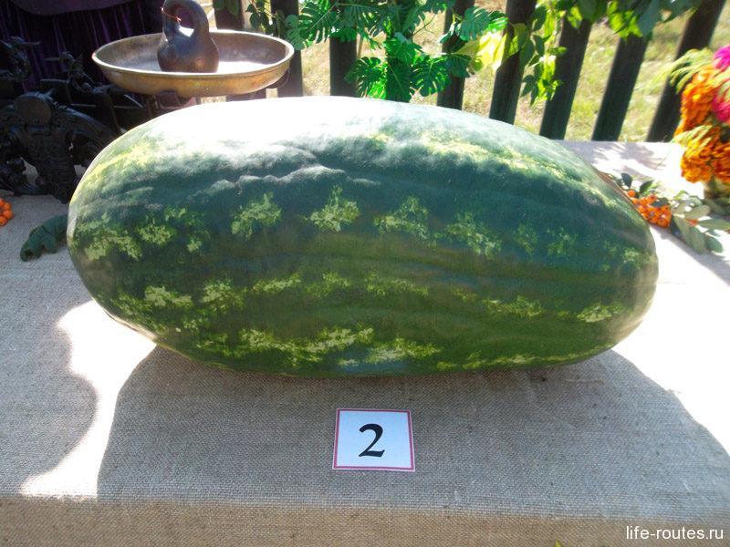 да царь-арбуз в 20 кг