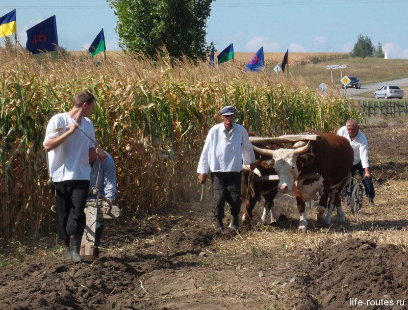 Традиционные полевые работы познакомят, как боронить землю, причем можно на быках, а можно и самому впрячься :)